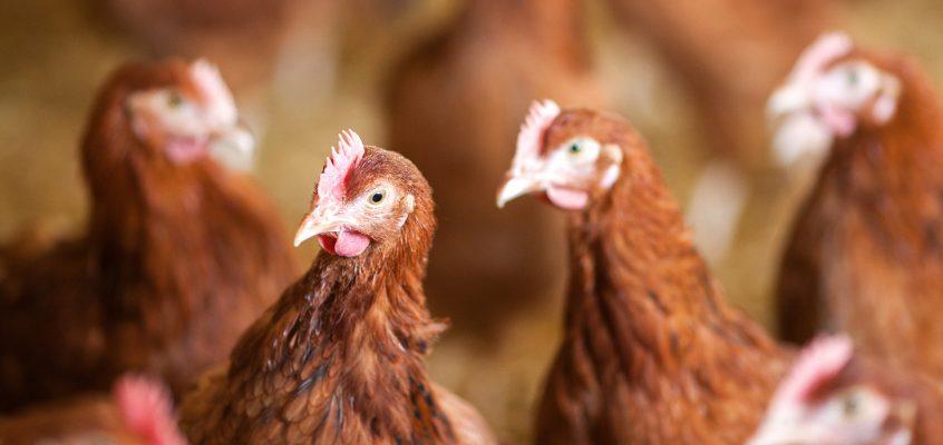Die neuen Hühner sind da!