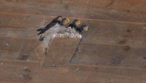 Praktisch schon ausgewachsene Jungtiere warten zwitschernd auf das Futter von Mama oder Papa. Einen Tag nachdem diese Aufnahme entstand, verließen die Jungtiere ihr Nest.
